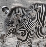 Two Zebras. Playing with each other. Desaturated image, almost black and white royalty free stock photos