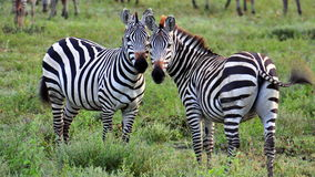Free Two Zebras Stock Images - 15503574