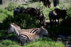 Two zebras. Two zebras are grazed at a watering place on a dark green background Stock Photo