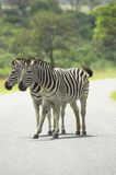 Two Zebras. In park on road Stock Photos