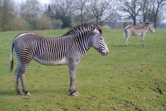 Two zebras. Feeding on grass Stock Photography