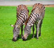 Two zebras. Was eating grass Royalty Free Stock Photos