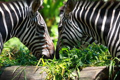 Free Two Zebras Stock Photography - 21050502