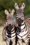 Two zebras Royalty Free Stock Images