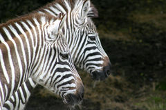 Two Zebras. A pair of zebras facing right Stock Photography