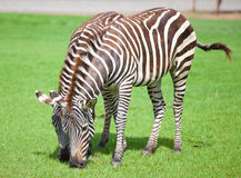 Two zebras. Was eating grass Stock Images