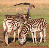Two Zebras. Standing at burnt branch Stock Images