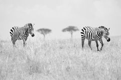 Two Zebras. A pair of zebras on the African plains of the Masai Mara in Kenya Stock Image