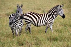 Free Two Zebras Royalty Free Stock Image - 28316406