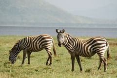 Free Two Zebras Stock Photography - 29584492