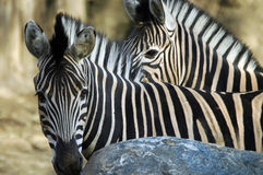 Two Zebras. Looking at me Stock Photo