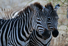 Two zebras. In Tarangire N.P. in Tanzania royalty free stock photos