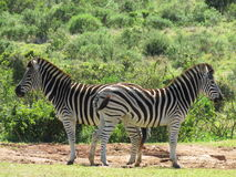 Two Zebras. Two zebras in the Addo Elephant National Park, facing opposite directions Stock Image