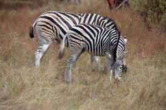 Two zebras in Africa Royalty Free Stock Photos