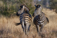Two zebras on the African savannah. Photographed one from the front and one from behind Royalty Free Stock Photo
