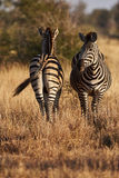 Two zebras on the African savannah vertically. Two zebras on the African savannah, photographed one from the front and one from behind Royalty Free Stock Photos