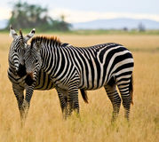 Two zebras in Amboseli Royalty Free Stock Photos