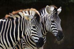 Free Two Zebras At Taronga Zoo Stock Photos - 181069353