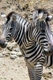 TWO HEADED ZEBRA stock photo