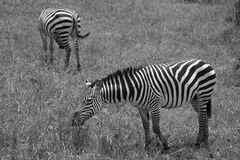 Two Zebras in Black and White grazing Royalty Free Stock Photos