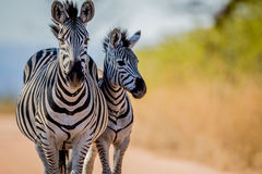 Two Zebras bonding in the Kruger. Royalty Free Stock Photos