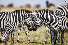 Free Two Zebras Create Perfect Symmetry, Harmony While Standing Face To Face` Royalty Free Stock Image - 70298266