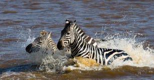 Two Zebras crossing a river. Kenya. Tanzania. National Park. Serengeti. Maasai Mara. Stock Photography