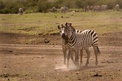 Two zebras cuddling Stock Image