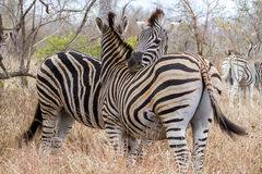 Two Zebras Cuddling Royalty Free Stock Photography
