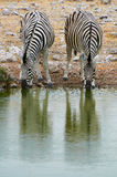 Two zebras drinking at a waterhole. In Etosha National Park Stock Photo