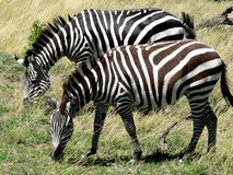 Two zebras eat grass Royalty Free Stock Photos