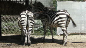 Two zebras eat grass at the zoo stock video footage