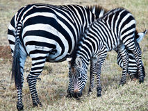Two zebras eating grass Royalty Free Stock Photography