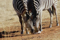 Two Zebras Eating on ground Stock Photography