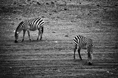 Two zebras eating. Tanzania, Africa Stock Photography