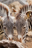 Two zebras eating together Stock Photo