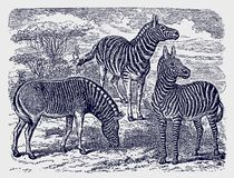 Two zebras (equus zebra) and an extinct quagga standing in an african savanna woodland landscape. Illustration after a historic engraving from the vector illustration