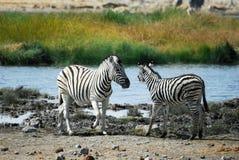 Two zebras in the Etosha National Park, Namibia Royalty Free Stock Photography