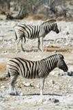 Two zebras in the Etosha National Park, Namibia Stock Image
