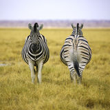 Two zebras of Etosha NP in square composition Royalty Free Stock Images