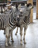 Two zebras. A family of zebras stand side by side. Zebras close-up. African zebra. Stock Photo