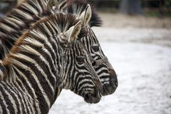 Two zebras. A family of zebras stand side by side. Zebras close-up. African zebra. Stock Photos