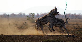Two Zebras fighting Royalty Free Stock Image