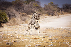 Two zebras fighting in the Etosha National Park, in Namibia Stock Images