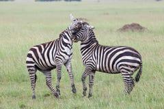 Two Zebras Fighting Stock Photos