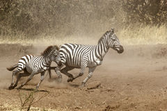 Two zebras gallopping Royalty Free Stock Image