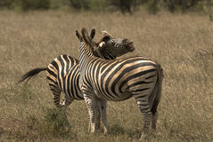 Two zebras on glass plain Royalty Free Stock Images