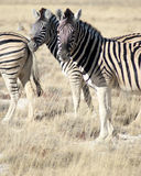 Two zebras in grass in Etosha National Park Royalty Free Stock Images