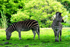 Two zebras on grass field. Summer Royalty Free Stock Photos