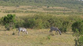 Two zebras graze in the thickets of the African savannah. Two zebras eat grass in the thickets of the African savannah. Safari on the Masai Mara nature reserve stock video footage